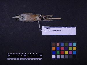 (Panuridae - 1997-0051)  @14 [ ] Copyright (2015) Takema  Saitoh Yamashina Institute for Ornithology