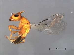 (Sycoecinae - GLA-DIA.M1-HN-2)  @14 [ ] CreativeCommons - Attribution Non-Commercial Share-Alike (2008) CBG Photography Group Centre for Biodiversity Genomics