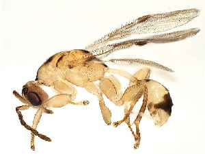 (Eurytomidae - BEN-M11-2 -HN-8)  @15 [ ] Unspecified (default): All Rights Reserved  Unspecified Unspecified
