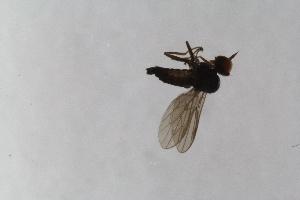 (Trichininae - RIKEmp_156)  @11 [ ] copyright (2014) Bergen Museum Bergen Museum