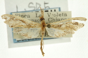 (Lineodes sp. 5ZYCRL - CNCLEP00089353)  @11 [ ] CreativeCommons - Attribution Non-Commercial Share-Alike (2011) JF Landry,Canadian National Collections & Zhaofu Yang, BIO Canadian National Collections
