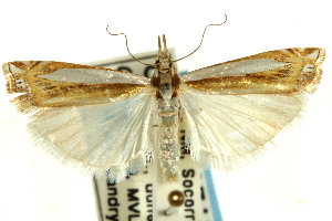 (Crambus cyrilellus - CNCLEP00089754)  @15 [ ] CreativeCommons - Attribution Non-Commercial Share-Alike (2011) JF Landry,Canadian National Collections & Zhaofu Yang, BIO Canadian National Collections
