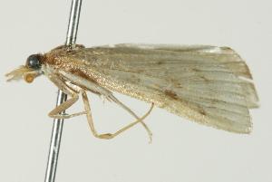 (Achyra sp. 2ZYCRL - ROMPYR00049)  @11 [ ] Copyright (2011) Zhaofu Yang, BIO Royal Ontario Museum