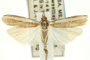(Crambus quinquareatus - CNCLEP00088705)  @15 [ ] CreativeCommons - Attribution Non-Commercial Share-Alike (2011) JF Landry,Canadian National Collections & Zhaofu Yang, BIO Canadian National Collections
