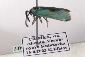 (Jordanita graeca - PPJJgragra007)  @13 [ ] Copyright (2010) Konstantin Efetov Crimea State Medical University