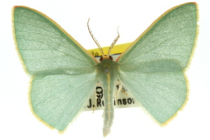 (Chlorocoma assimilis - 11ANIC-05418)  @15 [ ] CreativeCommons - Attribution Non-Commercial Share-Alike (2011) CSIRO/BIO Photography Group Centre for Biodiversity Genomics