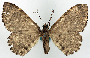 (Xanthorhoe lucirivata - BMNH(E) #818960)  @11 [ ] CreativeCommons - Attribution Share-Alike (2018) Unspecified Smithsonian Institution National Museum of Natural History