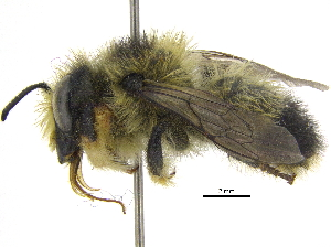 (Megachile - 06717C08-YT)  @16 [ ] CreativeCommons - Attribution Non-Commercial Share-Alike (2015) CBG Photography Group Centre for Biodiversity Genomics