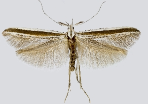 (Coleophora callipepla - NMPC-LEP-0465)  @13 [ ] CreativeCommons - Attribution Non-Commercial Share-Alike (2019) Jan Sumpich National Museum of Natural History, Prague