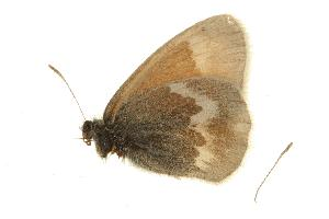 (Coenonympha tullia kodiak - EZ0224CNC)  @13 [ ] Unspecified (default): All Rights Reserved  Unspecified Unspecified