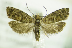 (Epinotia nigricana - BC ZSM Lep 87825)  @14 [ ] Unspecified (default): All Rights Reserved  Unspecified Unspecified