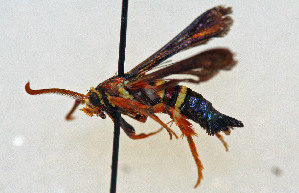 ( - CCDB-04612 B04)  @12 [ ] CreativeCommons - Attribution Non-Commercial Share-Alike (2010) Sesiidae Research Group Sesiidae Research Group