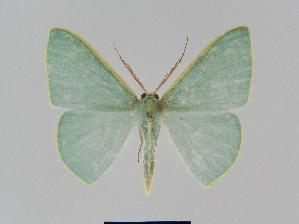 (Chlorocoma assimilisEF02 - BC EF Alc 00389)  @14 [ ] Copyright (2010) Egbert Friedrich Research Collection of Egbert Friedrich