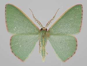 (Chlorocoma vertumnaria - BC EF Lep 04258)  @15 [ ] Copyright (2013) Egbert Friedrich Research Collection Egbert Friedrich
