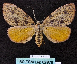 ( - BC ZSM Lep 62978)  @13 [ ] Copyright (2012) Axel Hausmann/Bavarian State Collection of Zoology (ZSM) SNSB, Zoologische Staatssammlung Muenchen