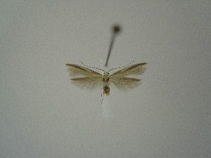 "(Coleophora albarracinica - BC KS 00206)  @13 [ ] Unspecified (default): All Rights Reserved (2012) Andreas K. Stuebner Andreas ""K."" Stuebner Research Collection"