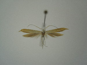 "(Coleophora anelpista - BC KS 00371)  @12 [ ] Unspecified (default): All Rights Reserved (2012) Andreas K. Stuebner Andreas ""K."" Stuebner Research Collection"