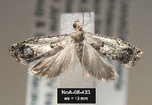 (Epinotia rectiplicana - NoA-08-433)  @14 [ ] Unspecified (default): All Rights Reserved  Unspecified Unspecified