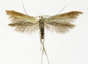 (Coleophora gallipennella - NHMO-DAR-9452)  @15 [ ] CreativeCommons - Attribution Non-Commercial Share-Alike (2016) Unspecified University of Oslo, Natural History Museum
