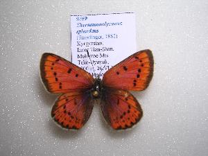(Thersamonolycaena - 2005-LOWA-469)  @14 [ ] CreativeCommons - Attribution Non-Commercial Share-Alike (2010) CBG Photography Group Centre for Biodiversity Genomics