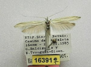 (Coleophora nevadella - CNCLEP00175721)  @11 [ ] CreativeCommons - Attribution Non-Commercial Share-Alike (2018) Jean-Francois Landry Canadian National Collection