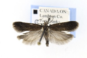 ( - CNCLEP00121665)  @13 [ ] CreativeCommons - Attribution Non-Commercial Share-Alike (2015) Jean-Francois Landry Canadian National Collection of Insects, Arachnids and Nematodes