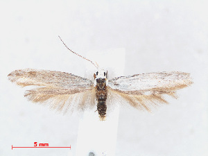 (Coleophora anatipennella - RMNH.INS.540894)  @11 [ ] Unspecified (default): All Rights Reserved  Unspecified Unspecified