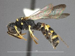 (Philanthidae - WSSF354)  @16 [ ] CreativeCommons - Attribution Non-Commercial Share-Alike (2013) WSDA Entomology Washington State Department of Agriculture