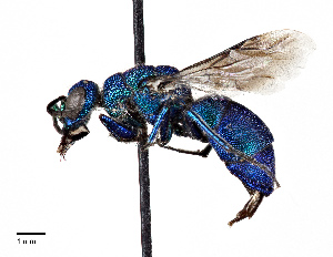 (Chrysididae - CCDB-20948 A04)  @15 [ ] No Rights Reserved (2015) Cory Sheffield Royal Saskatchewan Museum